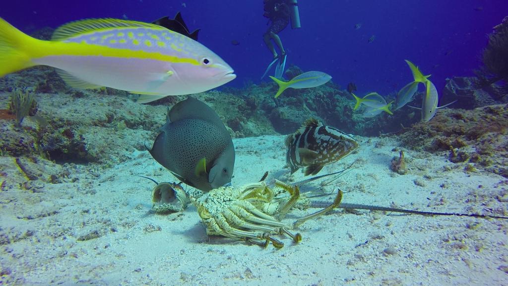 peces comiendo una langosta
